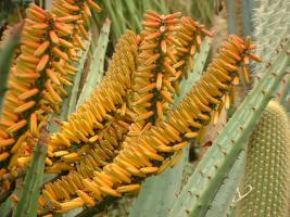 Aloe marlothii.