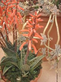 Aloe variegata, floraison hivernale.