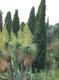 Beaucarnea stricta au jardin Hanbury (Italie).