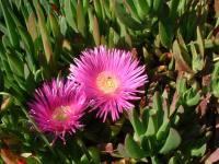 Carpobrotus edulis en fleur au printemps, la