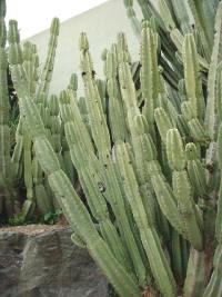 Cereus peruvianus (cactus) à Nice.