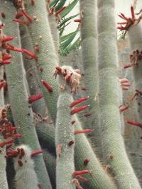 Cleistocactus strausii (cactus) à Nice.