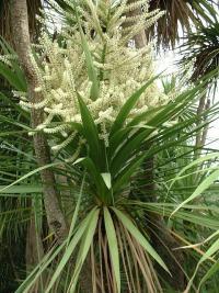 Cordyline australis aux fleurs délicatement parfumées.