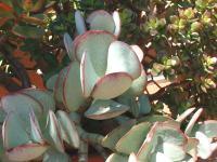 Cotyledon arborescens.