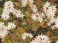 Crassula ovata couverte de fleurs blanches mellifères en plein hiver.