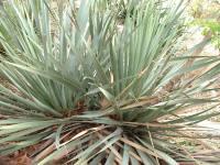 Dasylirion glaucophyllum.