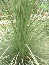 Dasylirion quadrangulatum.