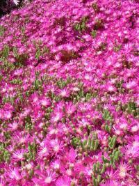 Tapis de Drosanthemum hispidum.