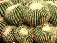 Echinocactus grusonii, le