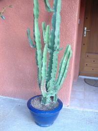 Euphorbia candelabrum à l'abri sous un porche.