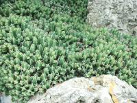 Euphorbia resinifera est un excellent couvre-sol.