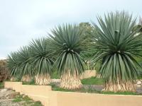 Furcraea bedinghausii au jardin botanique de Nice.