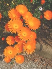 Ficoïde orange, Lampranthus aurantiacus.