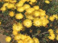Ficoïde jaune, Lampranthus serpens.