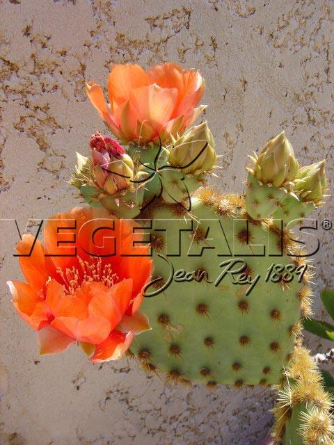 Préférence Plantes succulentes - Comment les cultiver - Vegetalis RD33