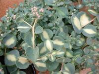 Sedum sieboldii variegata.