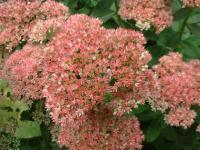 Sedum spectabile, très résistant et fleurit en automne.