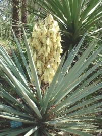 Yucca baccata au feuillage gris bleuté.