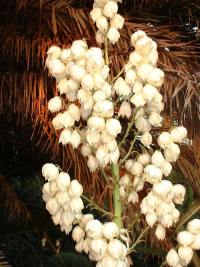 Fleurs en clochette de Yucca gloriosa, en été.