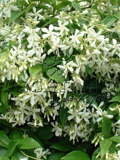 trachelospermum jasmino des vegetalis. Black Bedroom Furniture Sets. Home Design Ideas