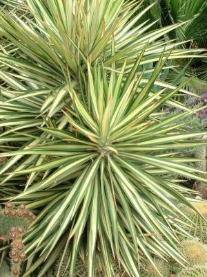 Yucca aloifolia vegetalis for Yucca elephantipes exterieur