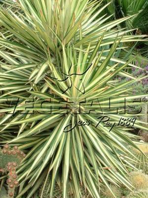 Yucca à feuilles panachées, pour donner facilement un air d'exotisme au jardin.