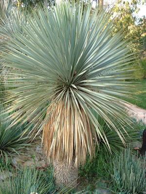 Yucca rostrata, à la tête parfaitement sphérique.