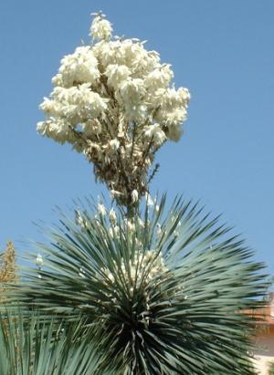 Yucca rostrata en pleine floraison en été.