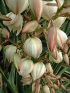 Yucca gloriosa, fleurs à boutons rosés, forme caractéristique de grosses clochettes.