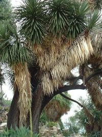 ...à l'arbre (Yucca australis).