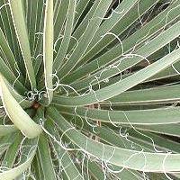 De nombreux yuccas portent des fils sur le bord des feuilles.