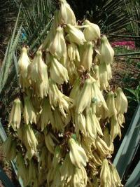 Spectaculaires floraisons des yuccas : Yucca baccata...