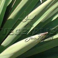 Beaucoup de yuccas sont munis d'une épine coriace à l'extrémité de leurs feuilles.
