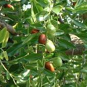 Détail des jujubes, fruits plus ou moins gros selon les variétés.
